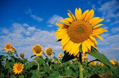Sunflower Oil for Hair